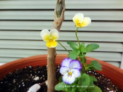 violasflowers