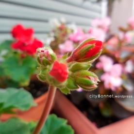 hairygeraniumbud