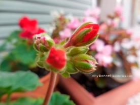 hairygeraniumsbud