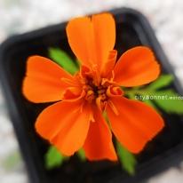 marigold5