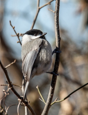 chickadee1_19jan_blog