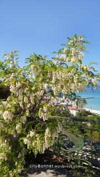 wisteria10