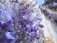 wisteria5