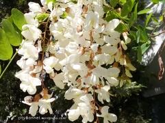 wisteria7