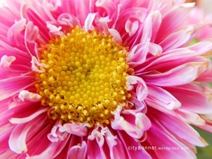 flowerpink4