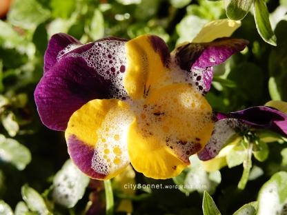 petalssoap3