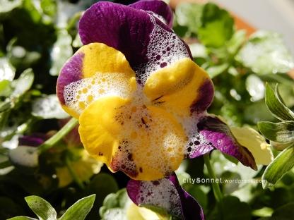 petalssoap4