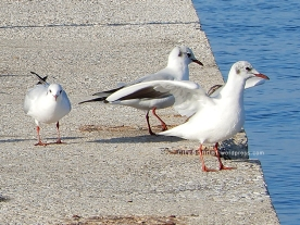 seagulls4