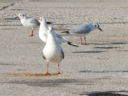 seagulls5