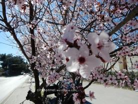 blossom17