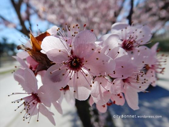 blossom18