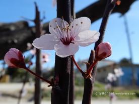 blossom19