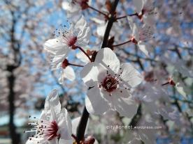 blossom5