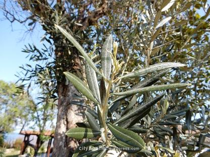 olive5