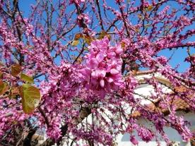 redbudtree