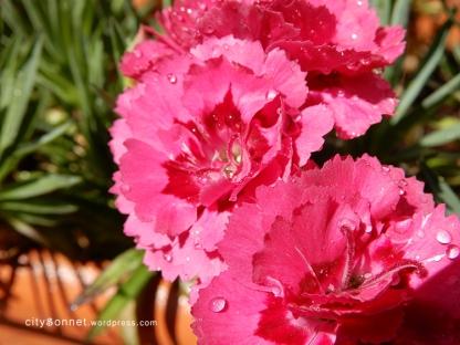 carnation7