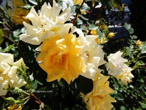 yellowroses1