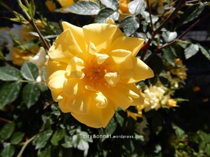 yellowroses2