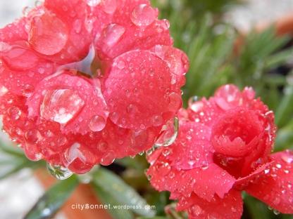 carnationdrops
