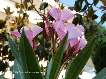 flowerpink7