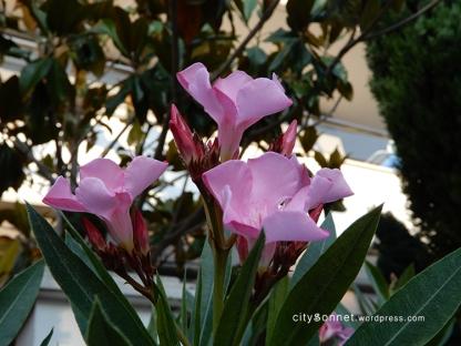 flowerpink8