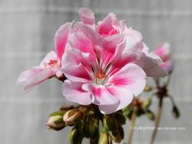geranium2