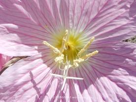 pinkpetals1