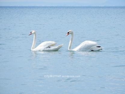 swans7