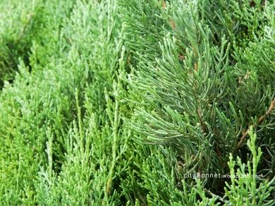 evergreen2