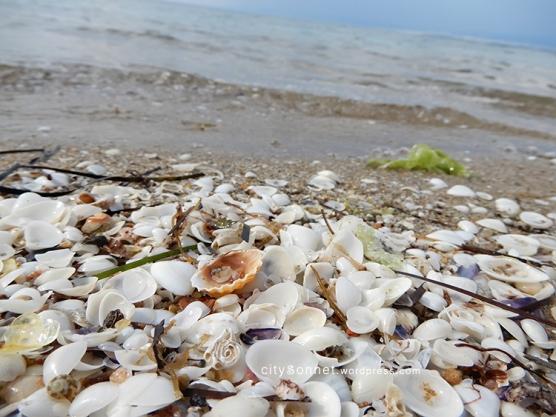 seashells15