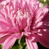 chrysanthemum5
