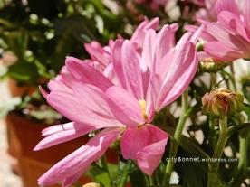 chrysanthemum9