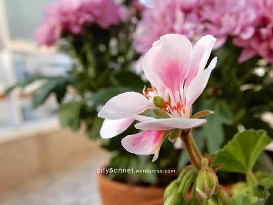 geranium10