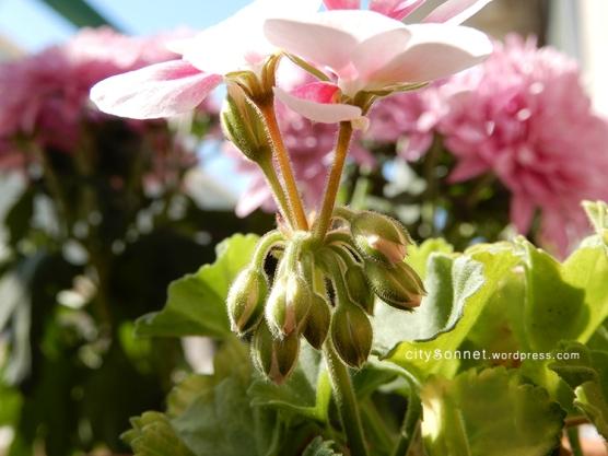 geranium12