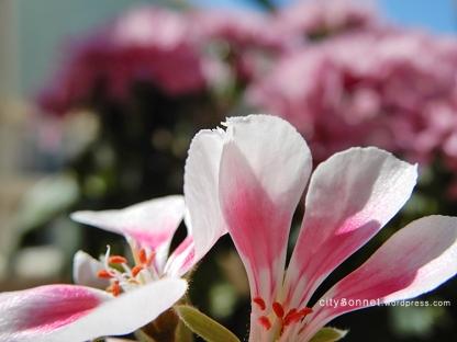 geranium15