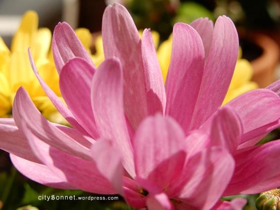chrysanthemum10