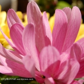 chrysanthemum10