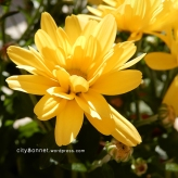 chrysanthemum14