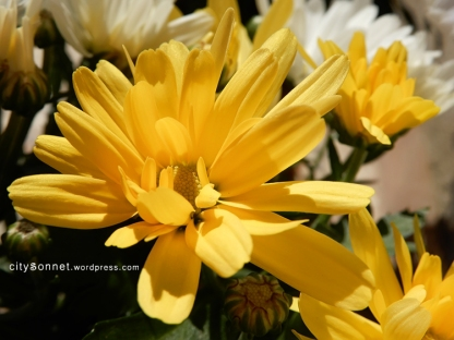 chrysanthemum15