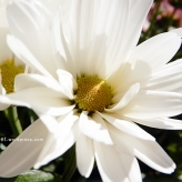chrysanthemum16