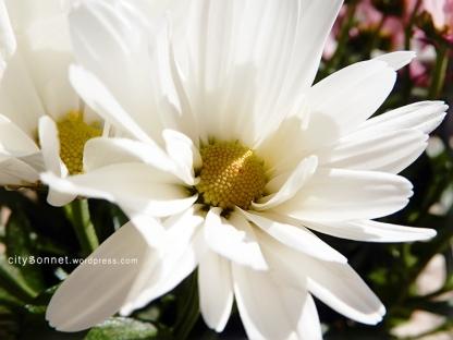 chrysanthemum16