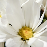 chrysanthemum17