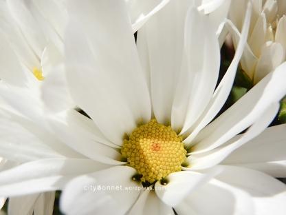 chrysanthemum17