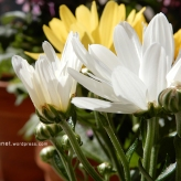 chrysanthemum18
