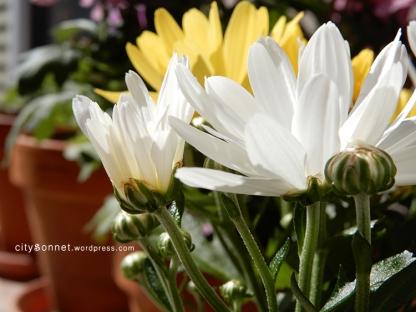 chrysanthemum18