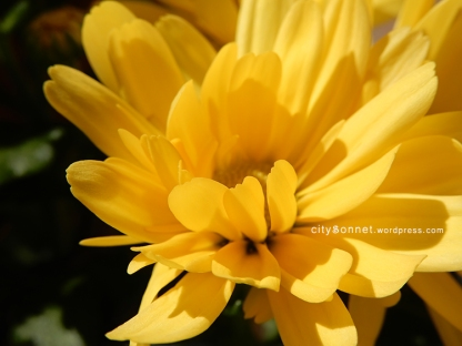 chrysanthemum26