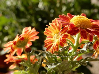 chrysanthemum27