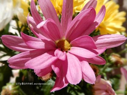 chrysanthemum32
