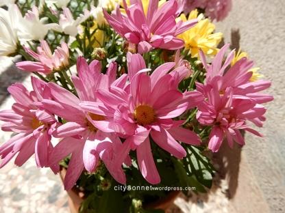 chrysanthemum34