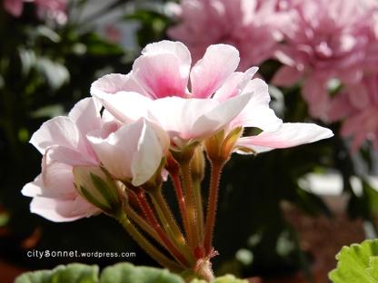 geranium24